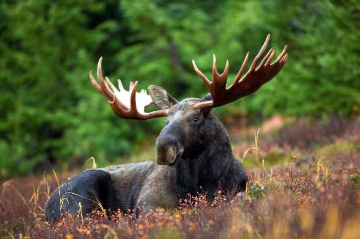 moose-moose-rack-male-bull-76972.jpeg