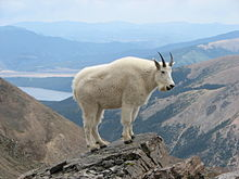 220px-Mountain_Goat_Mount_Massive
