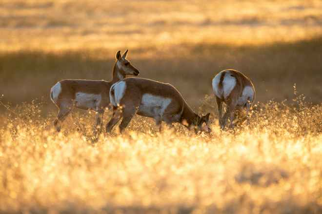 three brown and white deer grazing on field